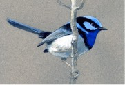 bluewrenmale